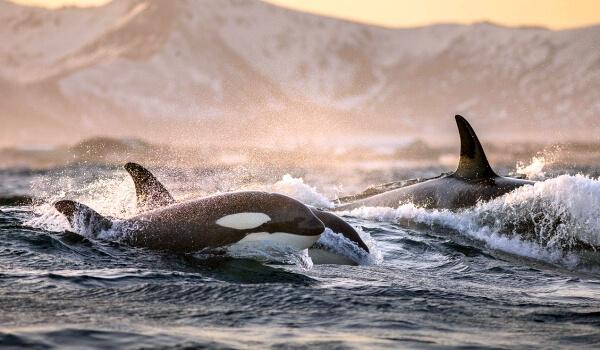 Фото: Косатки в море