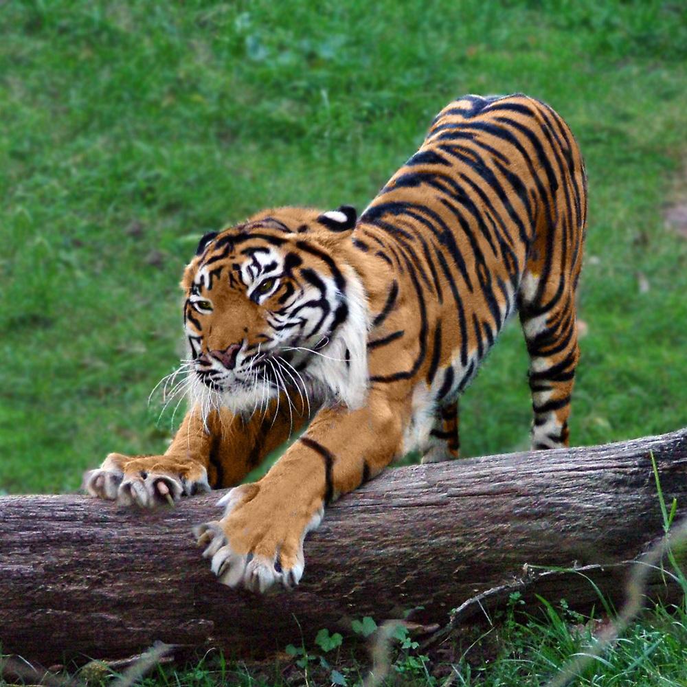 картинки тигров смотреть