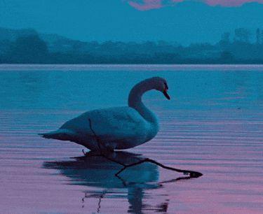 Гифки с лебедями