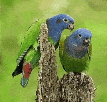 Гифки с синеголовыми красногузыми попугаями