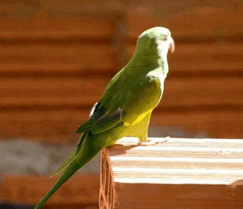 Гифки с желтокрылыми тонкоклювыми попугаями