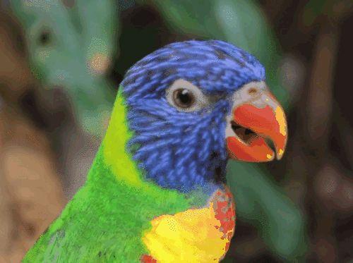 Гифки с многоцветными лорикетами