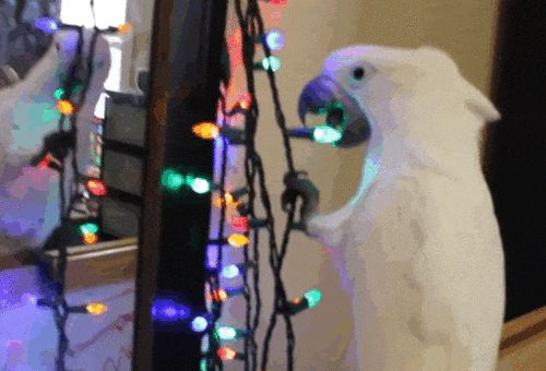 Гифки с попугаеобразными