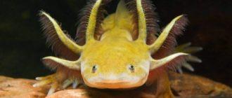 Ручной дракон - аксолотль сколько живет в домашних условиях