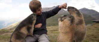 Байбак - фото, животное самое крупное из семейства сурков