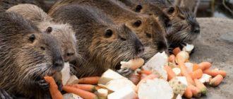 Что едят нутрии в домашних условиях: список