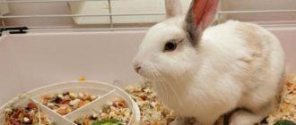 Уход за декоративным кроликом в домашних условиях