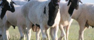 курдюк овцы