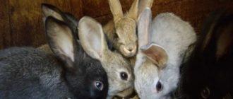 Какая порода кроликов самая устойчивая к болезням