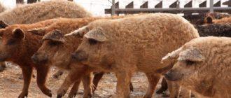 Мангалица: порода свиней характеристика